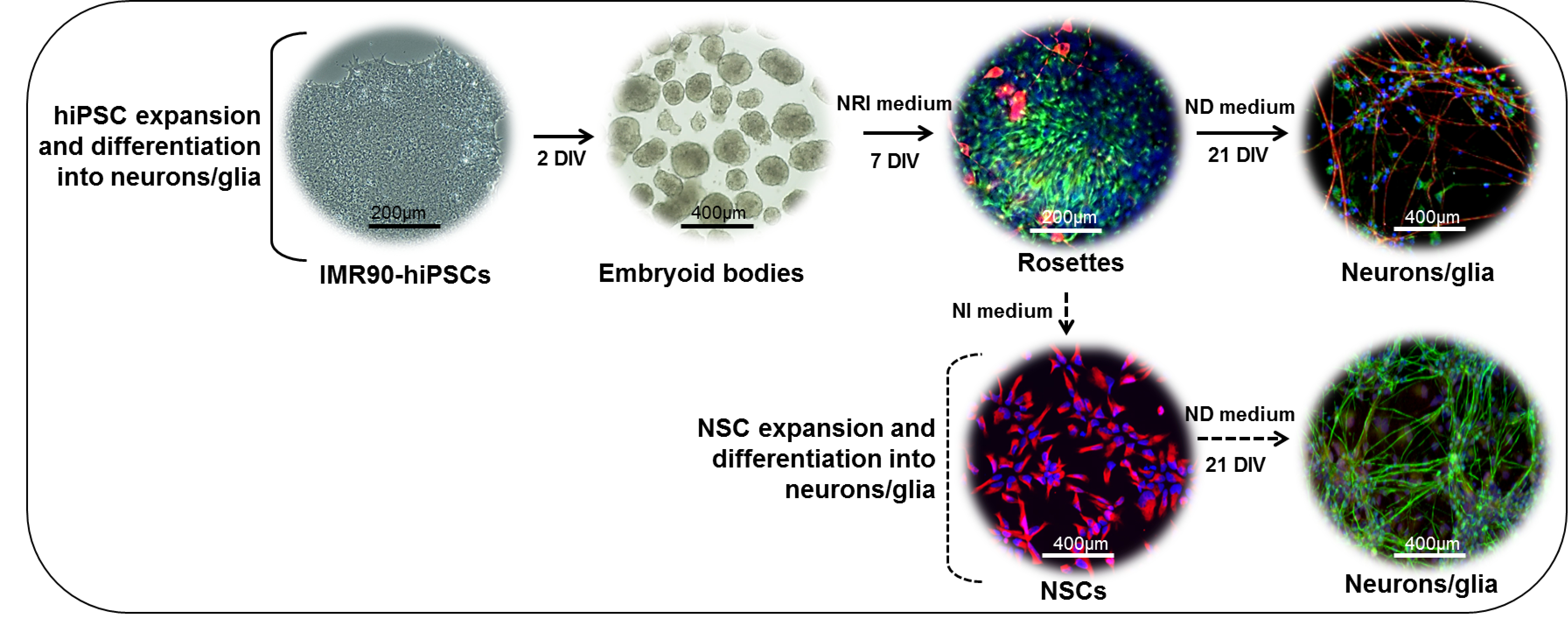 Directed neuronal differentiation of mouse embryonic and
