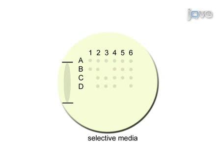 Dissection of <em>Saccharomyces Cerevisiae</em> Asci