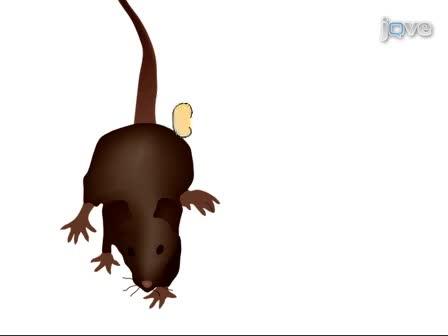 Мышей почечная Процедура трансплантации