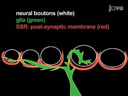 Visualiser le Live<em> Drosophile</em> Gliales-jonction neuromusculaire avec des colorants fluorescents