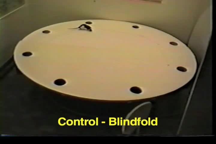 Een videodemonstratie van Geconserveerde besturen van door Scent Tracking maar Verminderde Dead Reckoning Na fimbria-Fornix Laesies in de Rat