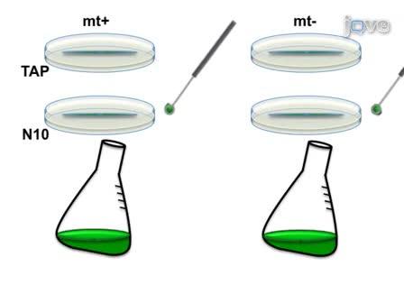 Mating and Tetrad Separation of <em>Chlamydomonas reinhardtii</em> for Genetic Analysis