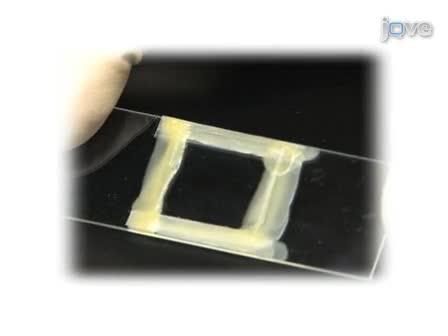 Imagerie de cellules vivantes de la F-actine fluorescente Dynamics via chatoiement de microscopie (FSM)