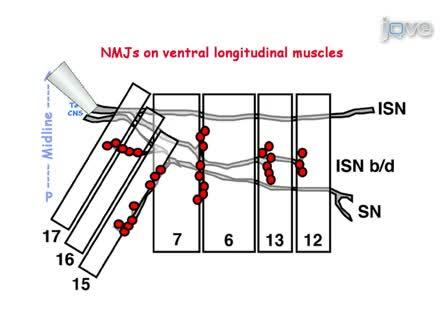 Electrophysiological Recording in the <em>Drosophila</em> Embryo