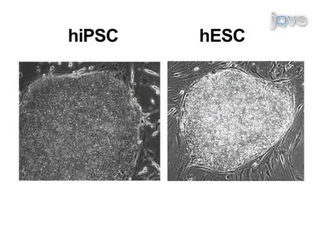 Generation of Induced Pluripotent Stem Cells by Reprogramming Human Fibroblasts with the Stemgent Human TF Lentivirus Set