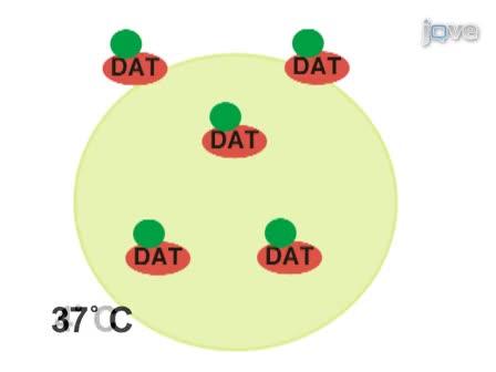 Het meten van plasma membraaneiwit endocytische de tarieven door Omkeerbare biotinylatie
