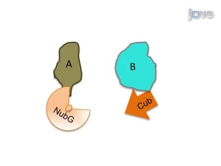 Сплит-Убиквитин основе дрожжей Мембрана два-Hybrid (МИФ) Система: Мощный инструмент для выявления белок-белковых взаимодействий