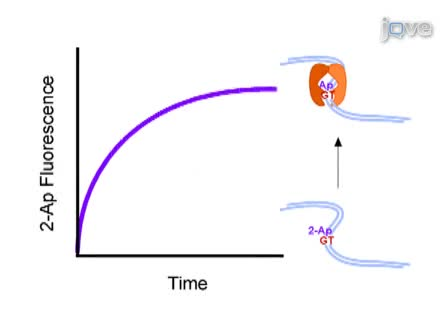 Application of Stopped-flow Kinetics Methods to Investigate the Mechanism of Action of a DNA Repair Protein