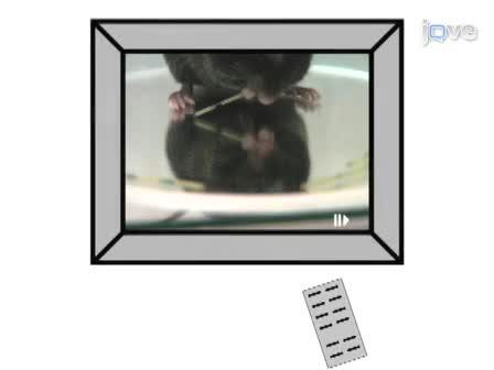 De Vermicelli en Capellini Handling Tests: Eenvoudige kwantitatieve metingen van behendige voorpootje functie in ratten en muizen