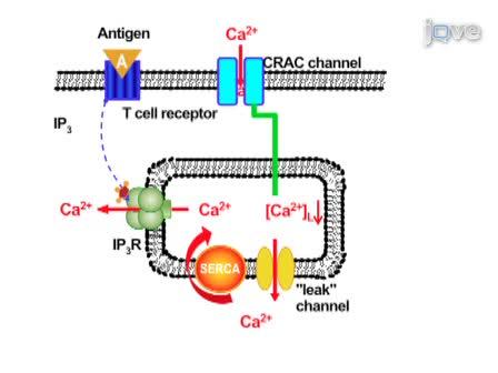 Whole-cell opname van calcium release-Activated Calcium (CRAC) Stromingen in menselijke T-lymfocyten