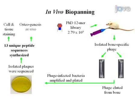 Peptides from Phage Display Library Modulate Gene Expression in Mesenchymal Cells and Potentiate Osteogenesis in Unicortical Bone Defects