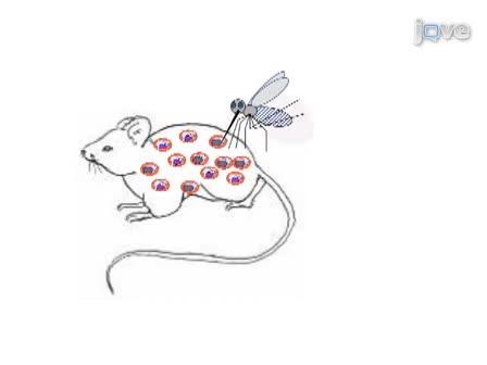 Protocole pour la production d'un croisement génétique des parasites du paludisme des rongeurs