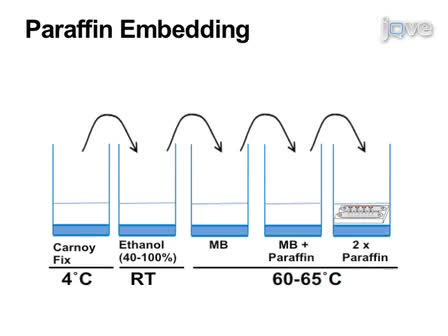 Paraffin-Embedded and Frozen Sections of <em>Drosophila</em> Adult Muscles