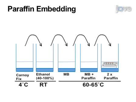 Парафин и замороженные Разделы<em> Drosophila</em> Мышцы взрослых