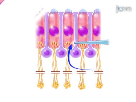 Registrazioni postsinaptica a dendriti afferenti contattare cocleari cellule ciliate interne: Release multivescicolari monitoraggio a Synapse Ribbon