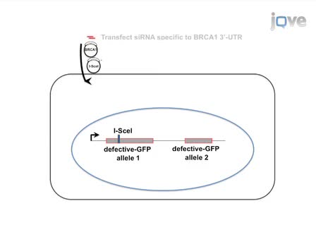 Identifying the Effects of BRCA1 Mutations on Homologous Recombination using Cells that Express Endogenous Wild-type BRCA1
