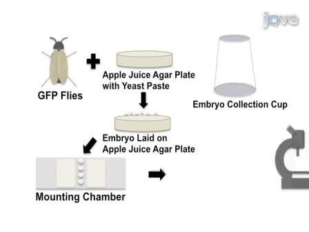 Изображениями сотовый изменения формы в живых<em> Drosophila</em> Эмбрионы