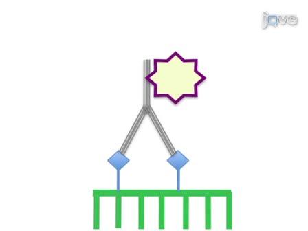 Using Whole Mount <em>in situ</em> Hybridization to Link Molecular and Organismal Biology