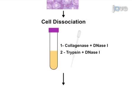 Cytometry זרימה טיהור תאים עכבר meiotic