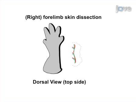 Todo el montaje El análisis inmunohistoquímico de la piel del miembro Vasculatura embrionarias: un sistema modelo para estudiar la morfogénesis vascular ramificación en embriones