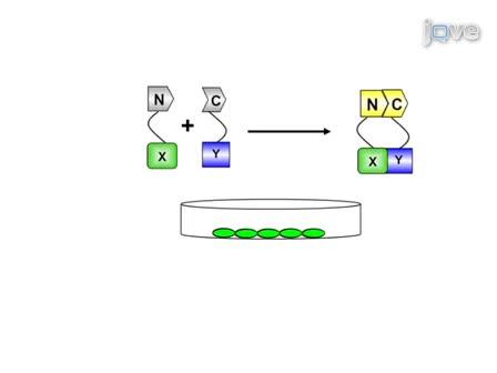 Bimolecular Fluorescence Complementation