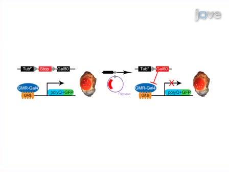 Mapping and Application of Enhancer-trap Flippase Expression in Larval and Adult <em>Drosophila</em> CNS