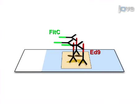 Use of Fluorescent Immuno-Chemistry for the detection of <em>Edwardsiella ictaluri</em> in channel catfish (<em>I. punctatus</em>) samples