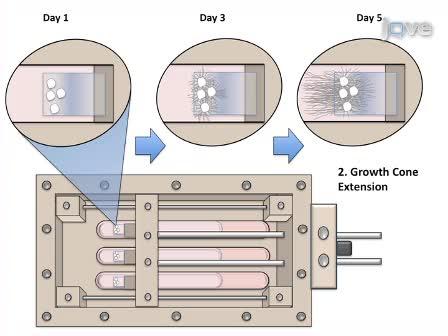 轴突伸展生长:神经生长Mechanotransduction
