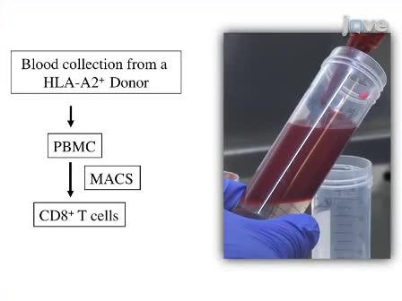 HLA-Ig Basierend Artificial Antigen-präsentierende Zellen für eine effiziente<em> Ex vivo</em> Erweiterung des menschlichen CTL