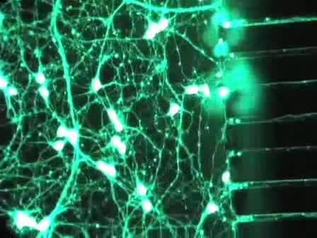 Preparing E18 Cortical Rat Neurons for Compartmentalization in a Microfluidic Device