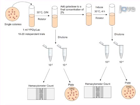 Quantitation and Analysis of the Formation of HO-Endonuclease Stimulated Chromosomal Translocations by Single-Strand Annealing in <em>Saccharomyces cerevisiae</em>