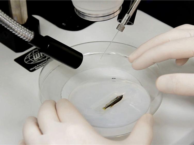 <em>In vivo</em> Electroporation of Morpholinos into the Regenerating Adult Zebrafish Tail Fin