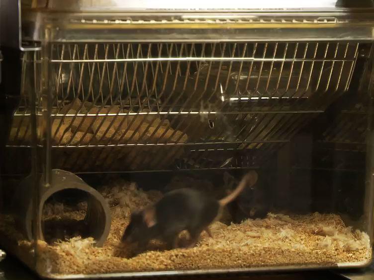 Progressive-Verhältnis reagiert Palatable für High-Fett-und High-Zucker Lebensmittel in Mäuse