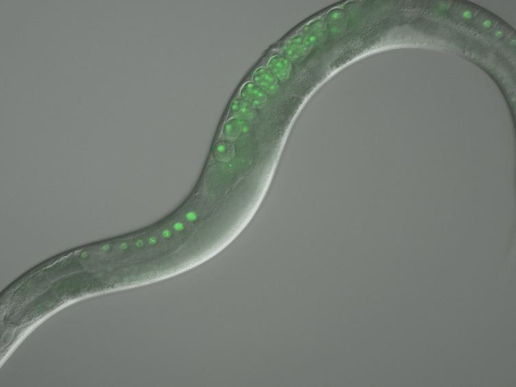 Use of Time Lapse Microscopy to Visualize Anoxia-induced Suspended Animation in <em>C. elegans</em> Embryos