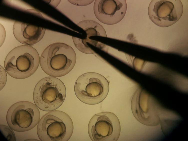 Optogenetic تنشيط الخلايا العصبية الحسية الجسدية اسماك الزرد باستخدام الشيف-tdTomato
