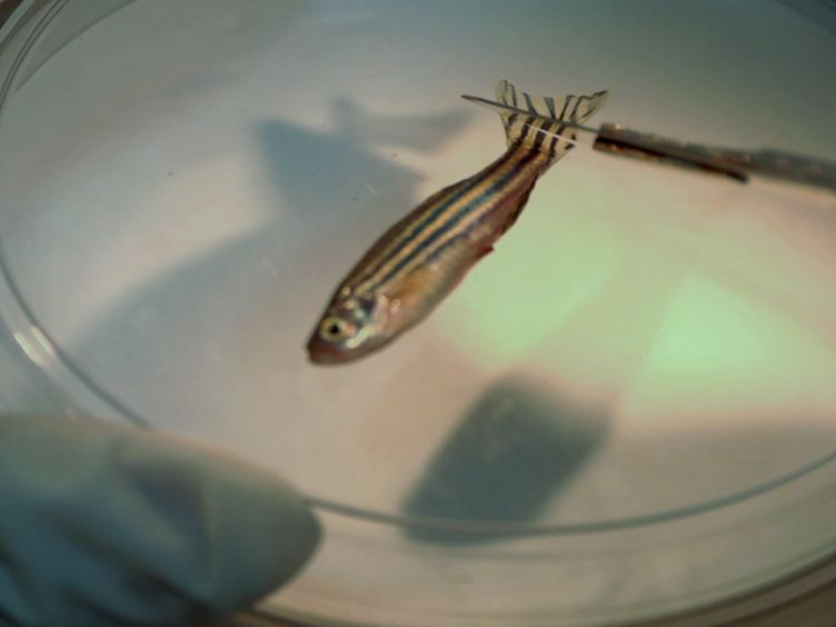 A Zebrafish Model of Diabetes Mellitus and Metabolic Memory