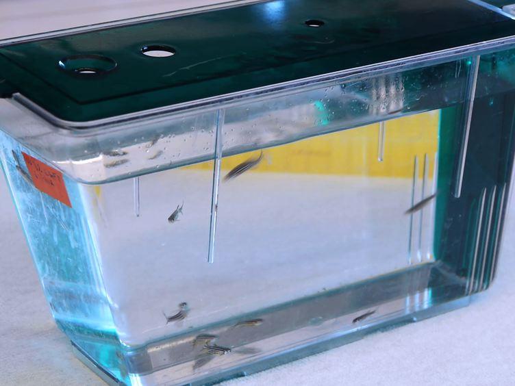 Görüntüleme ve Embriyonik Zebra balığı Serebrovasküler Yapıların 3D İmar