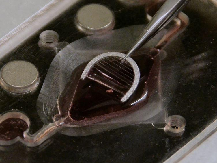 En Isoleret Semi-intakt Forberedelse af Mouse vestibulære Sensory epitel for Elektrofysiologi og høj opløsning To-foton mikroskopi
