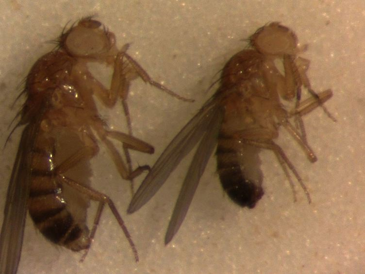 A Single-fly Assay for Foraging Behavior in <em>Drosophila</em>