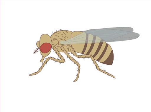 An Introduction to <em>Drosophila melanogaster</em>