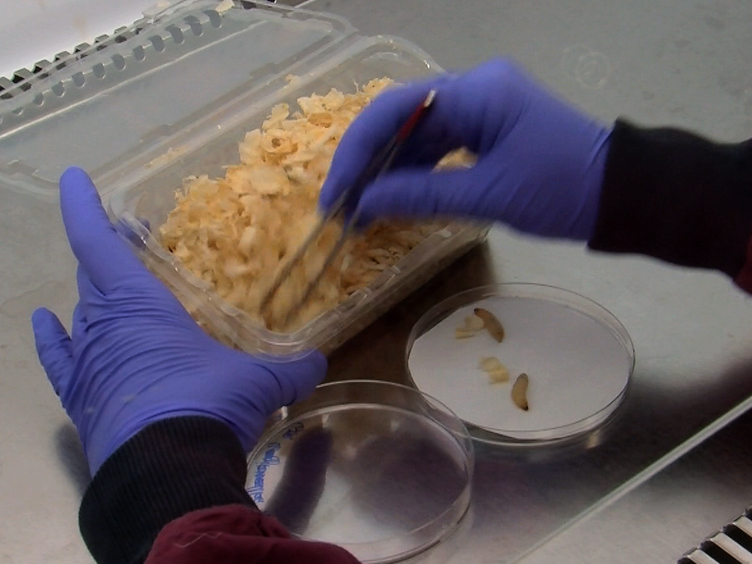 Use of <em>Galleria mellonella</em> as a Model Organism to Study <em>Legionella pneumophila</em> Infection
