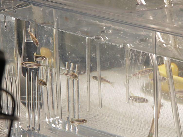 A Novel Lett Skade Paradigm for bruk i Retinal Regeneration Studies in Adult sebrafisk