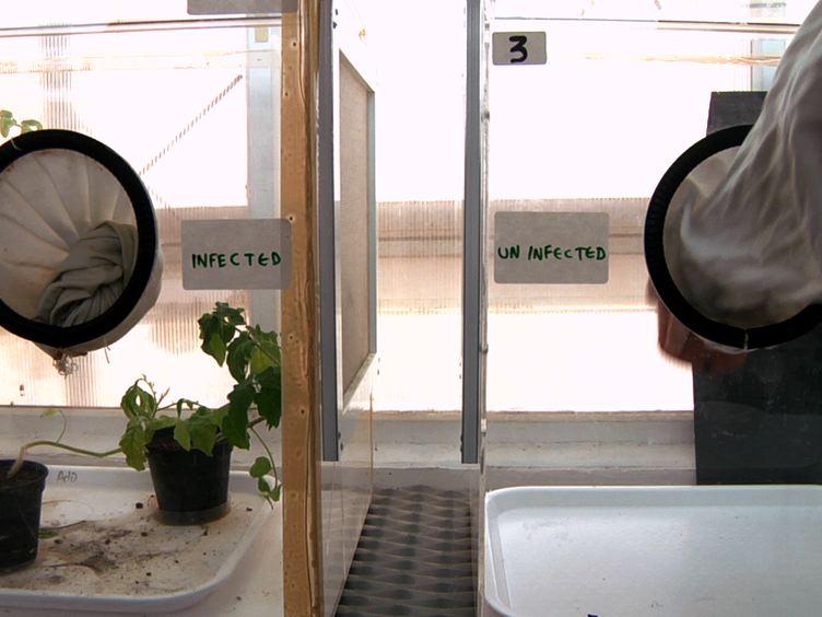 Fluorescência<em&gt; In situ</em&gt; Hibridizações (FISH) para a localização de vírus e bactérias Endosymbiotic em Plant e Insect Tecidos