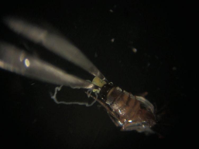 Cytologisk Analyse spermatogenese: Skarp og Faste Preparater av<em&gt; Drosophila</em&gt; Testikler