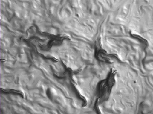 <em>C. elegans</em> Chemotaxis Assay