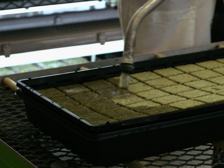 最適化と利用の<em&gt;アグロバクテリウム</em中&gt;媒介一過性タンパク質産生<em&gt;タバコ</em