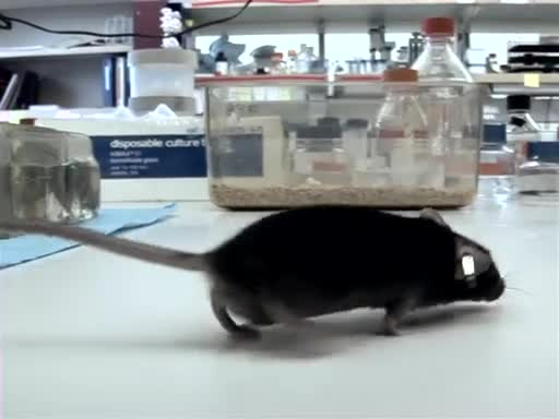 对实验室小鼠的介绍