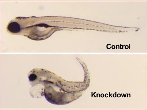 Zebrafish Reproduction and Development