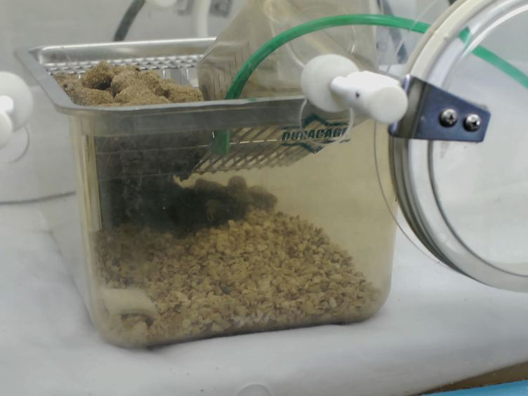 Mouse Pneumonectomy Model of Compensatory Lung Growth