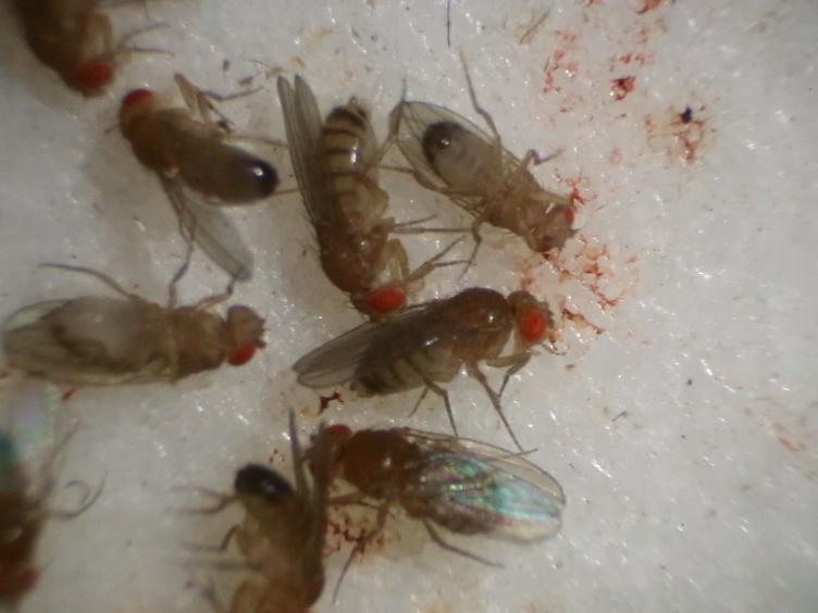 Preparation of Mitochondrial Enriched Fractions for Metabolic Analysis in <em>Drosophila</em>
